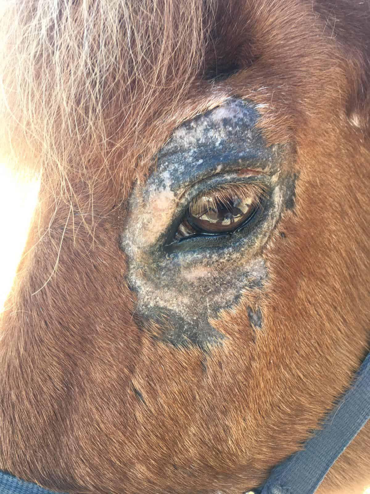 Milben am Auges eines Pferdes