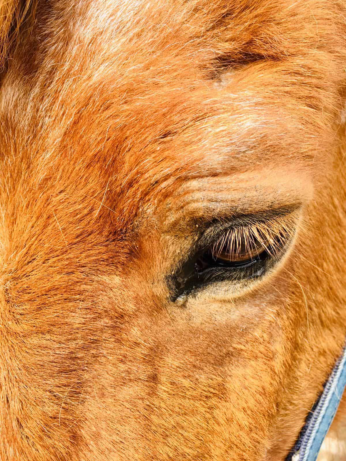 Auge Pferd verheilt